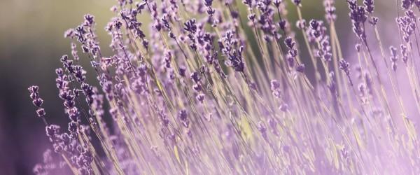 lavendel-krauterspaziergang-600x250-crop-50-48.jpg